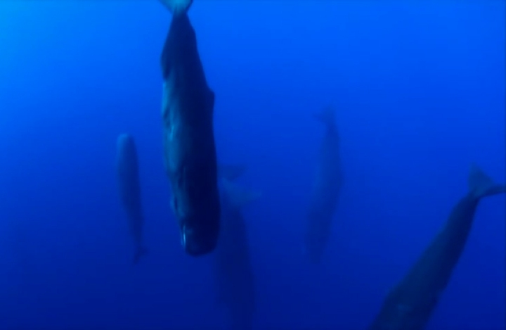 sleeping.sperm.whale